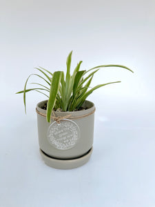 Spider plant in mini oslo planters