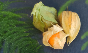 Peruvian bellflower (Physalis) we offer to buy 4 pcs, which weigh ~ 25g