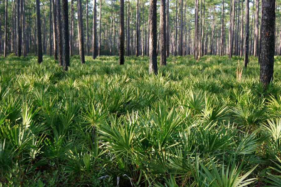 How does Saw Palmetto benefit your hair?