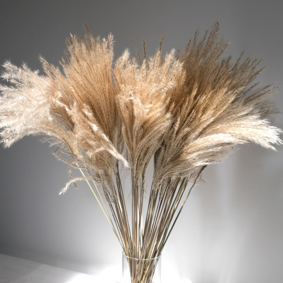 Long Cane Grey Dried Maiden Grass Miscanthus - 50 Stems/Bunch