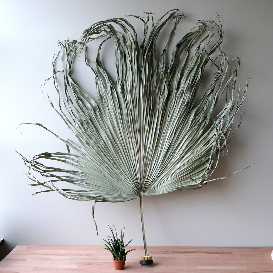Giant Dried Palm Leaf - 20 Stems / Bunch