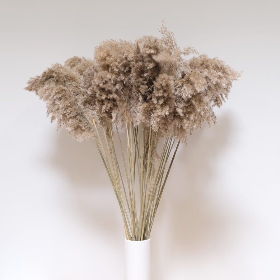 Long Cane Plume Pampas Grass - 10 Stems/Bunch