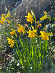 Daffodils in a hedgerow