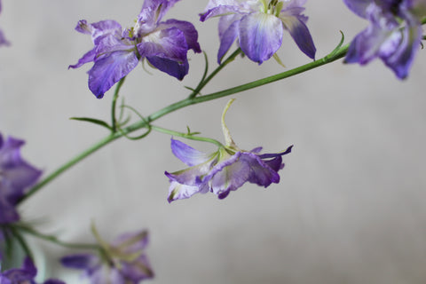 Close up photograph of a Larkspur stem, the flowers are pale purple. The image shows the back of one flower and the hooked petal from which the Larkspur is thought to get it's name.