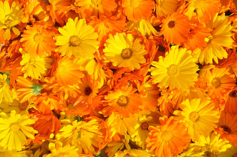 A bed of yellow and orange calendula flowers