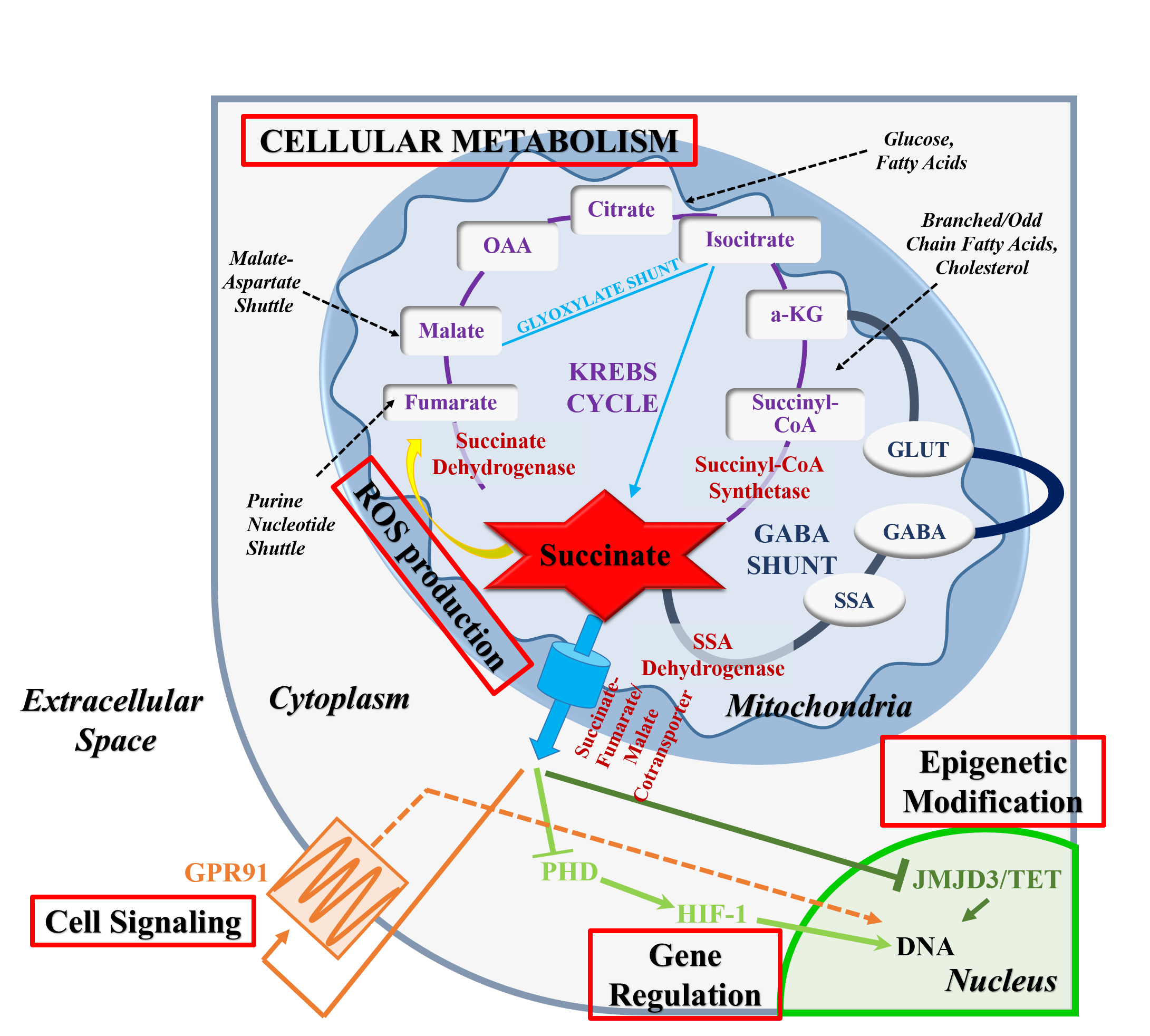 Cellular Metabolism Graph Photo