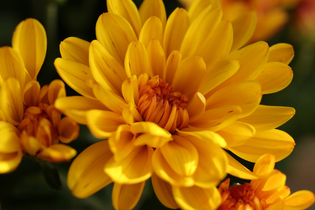Chrysanthemum in Pai Yi Kaw for clearing lungs