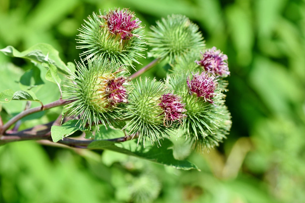 Greater Burdock as Traditional Chinese Medicine