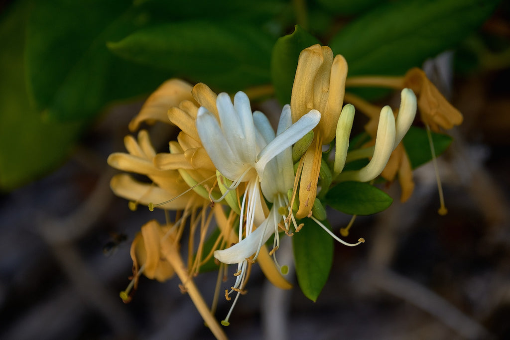 Honeysuckle Flower - Traditional Chinese Medicine