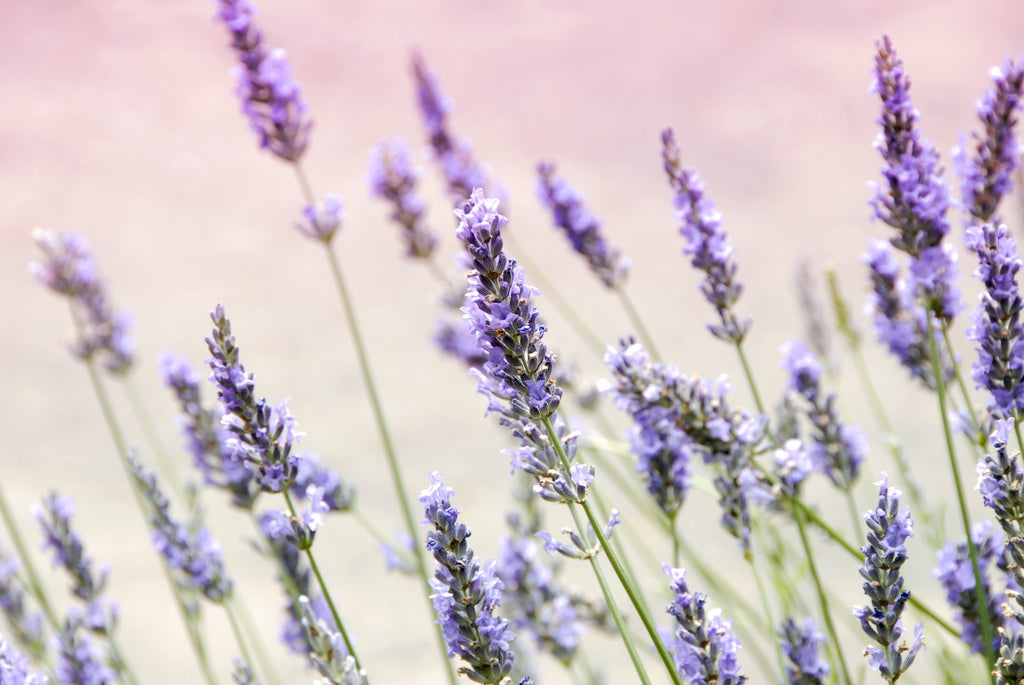 Lavender in White Flower Oil for pain relief