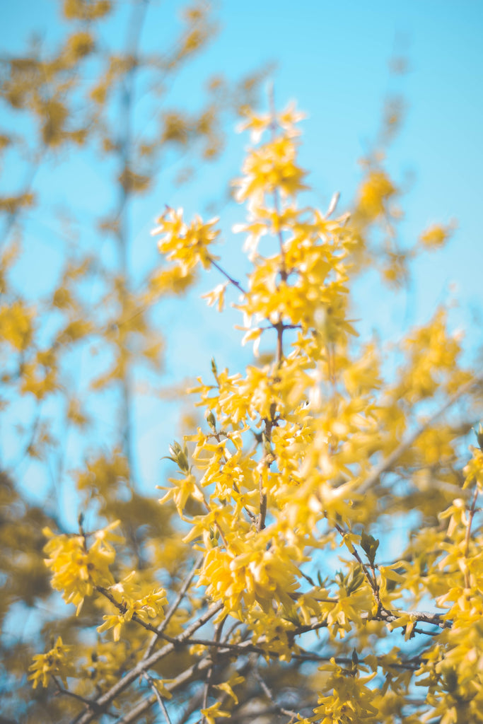 Forsythia fruit as Traditional Chinese Medicine
