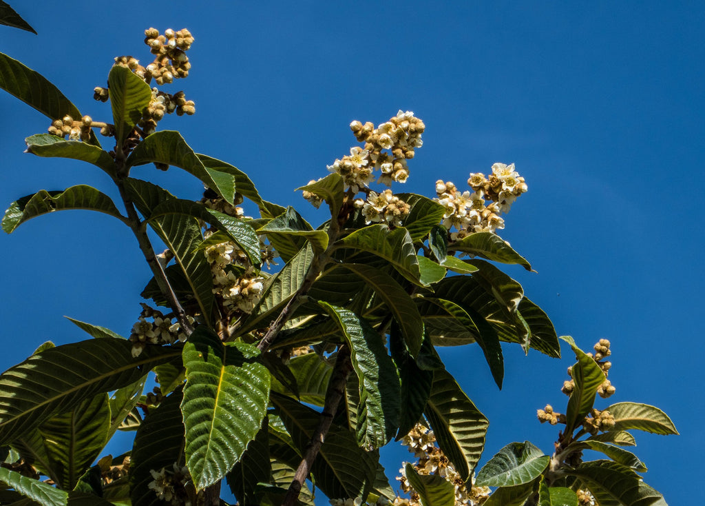 Loquat leaves in Pai Yi Kaw for clearing lungs
