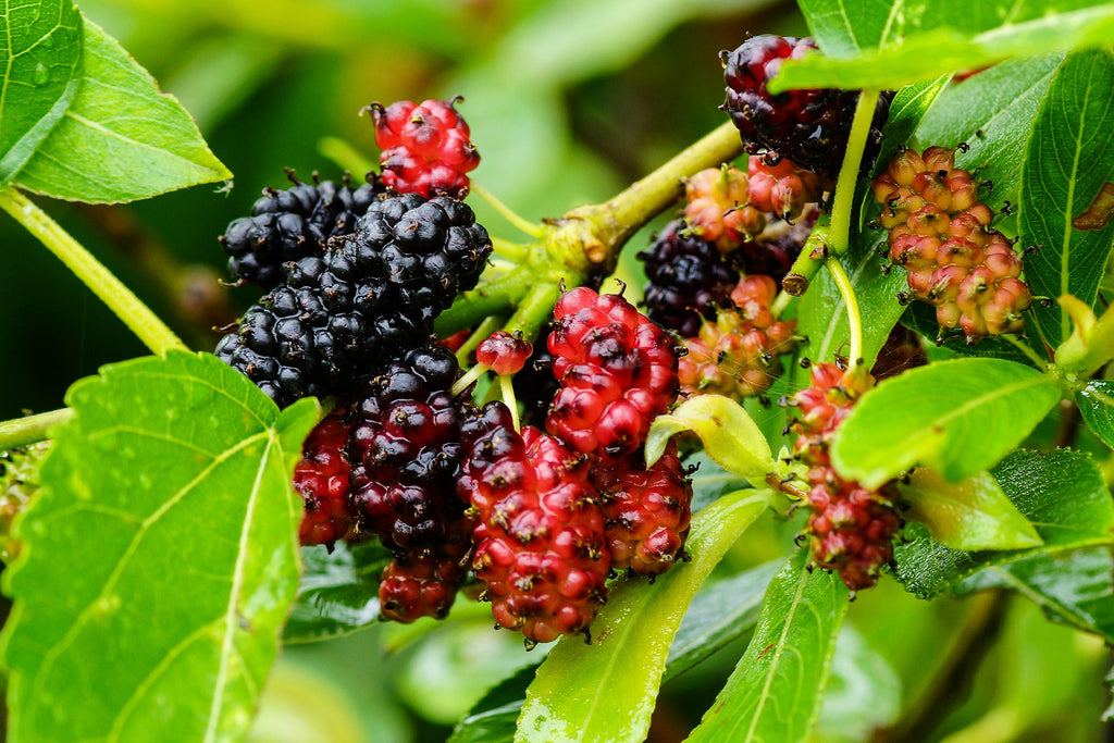 Mulberry fruit in Liver Support No. 1