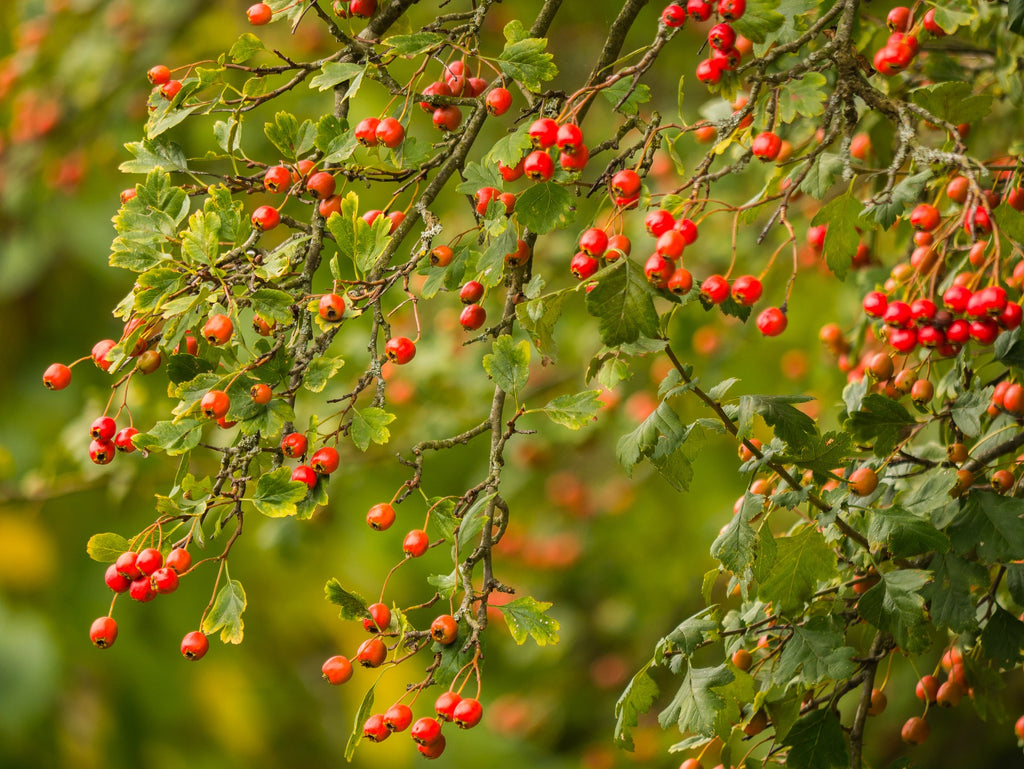 Hawthorn plant for weight loss benefits