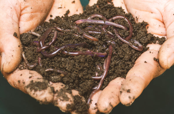 Man holding a pile of compost worms
