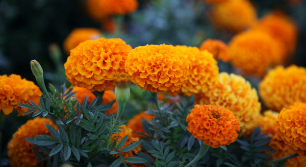 marigolds are an excellent natural bug repellent