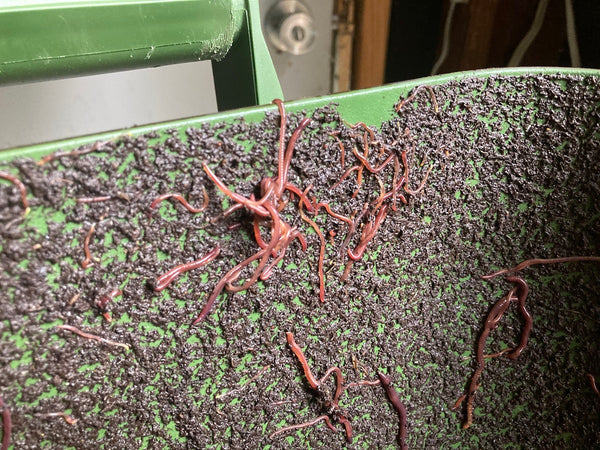 Compost Worms trying to escape the bin before and during rain