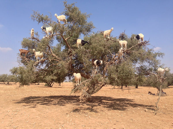 Image of an argan tree - Abyssinian Oil