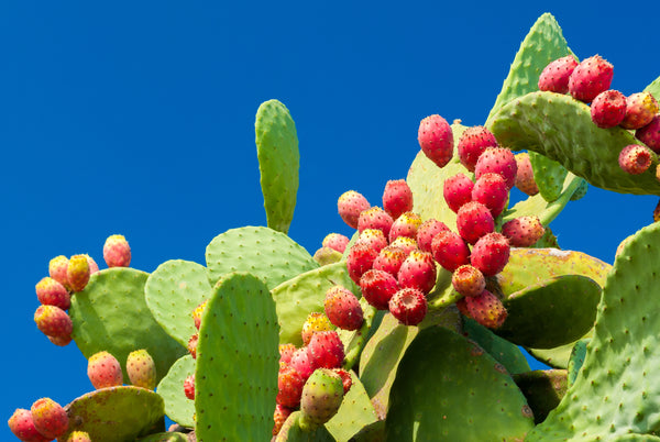 INGREDIENT SPOTLIGHT: PRICKLY PEAR SEED OIL.