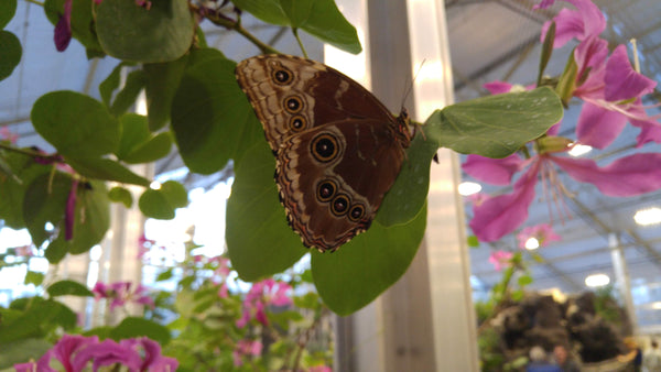 Butterfly Biosphere - Common Morpho