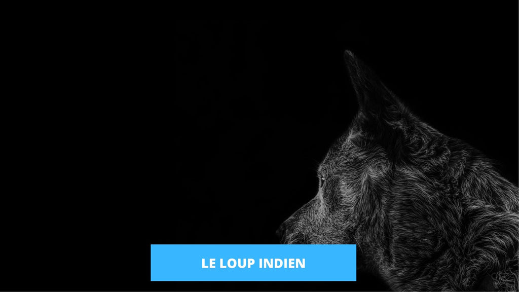 Loup Indien - nourriture, habitat, reproduction