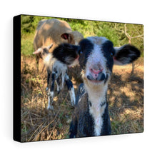 Load image into Gallery viewer, Romeldale Lamb Canvas Gallery Wraps