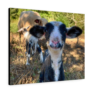 Romeldale Lamb Canvas Gallery Wraps