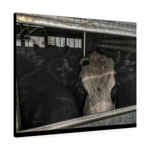 Market Steers Canvas Gallery Wraps