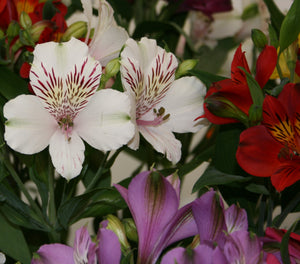 Alstroemeria Assorted Select