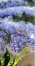 Load image into Gallery viewer, Agapanthus Blue