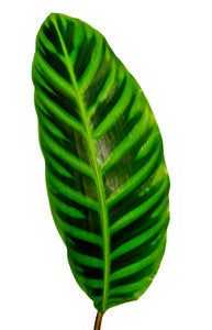 Tropical Foliage Calathea Leaves from Costa Rica