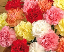 Load image into Gallery viewer, Carnation Assorted