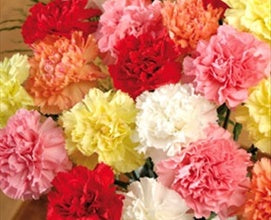 Carnation Assorted