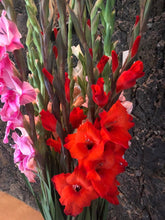 Load image into Gallery viewer, Gladiolas 25 bunch pack