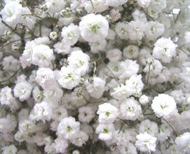 Gypsophilia Excellence