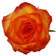 Load image into Gallery viewer, Roses Assorted 60-70 cm
