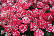 Load image into Gallery viewer, Roses Spray (Mini) Assorted
