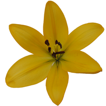 Load image into Gallery viewer, Lilies Asiatic