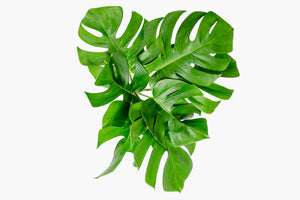 Tropical Foliage Monstera Leaves Assorted from Costa Rica