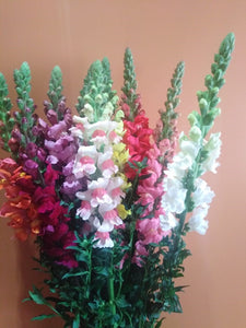 Snapdragons in 14 bunch pack
