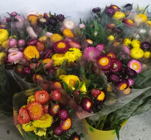 Strawflowers assorted