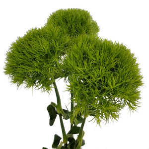 Dianthus Green Ball/Trick