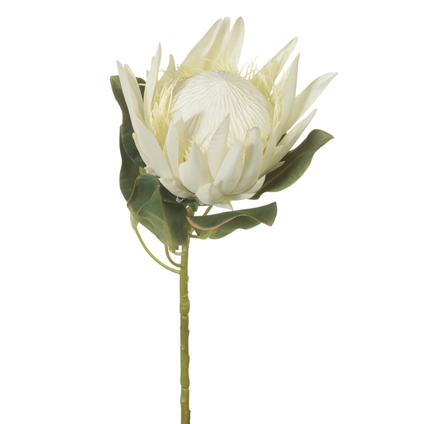Protea King. Cream. Single Stem. 68cm