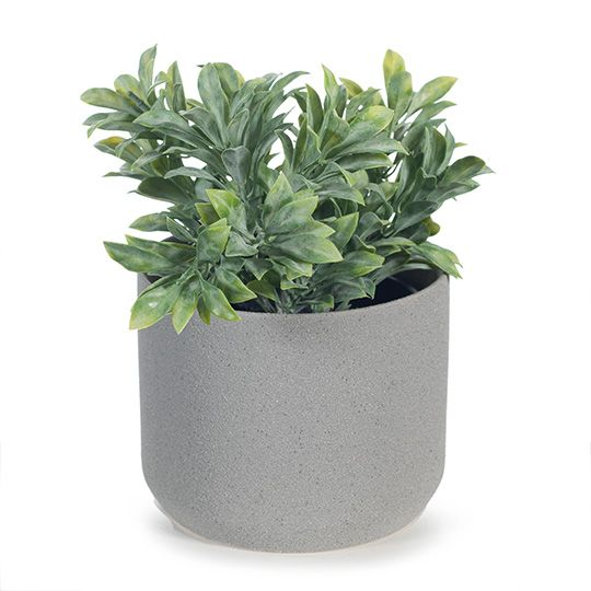 Jade Bush In Pot