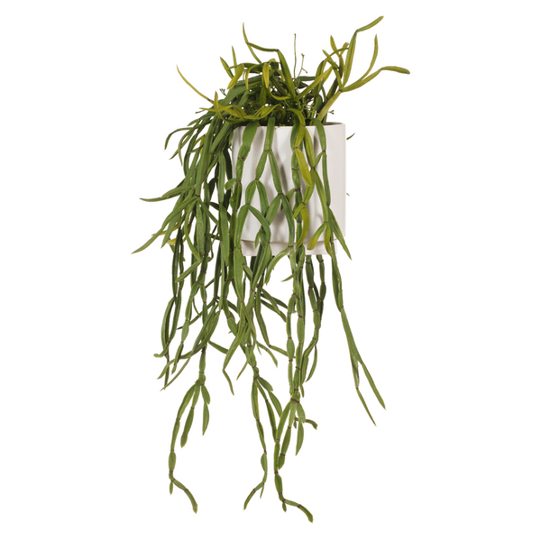 Rhipsalis in Pot Green 60cm
