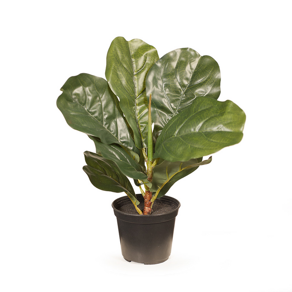 Fiddle Leaf Plant