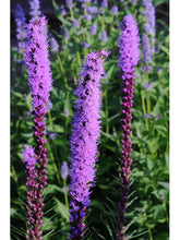 Load image into Gallery viewer, For the Hummingbirds Wildflower Collection