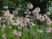 Load image into Gallery viewer, Nodding Wild Onion