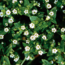 Load image into Gallery viewer, Chickweed
