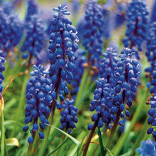 Load image into Gallery viewer, Grape Hyacinth